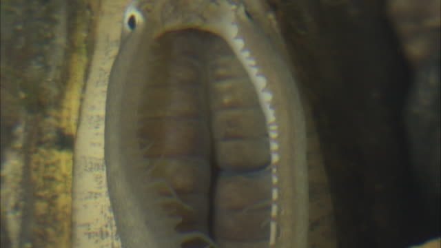 a freshwater mussel exposes its fish-like mantle flap as a lure. - freshwater stock videos & royalty-free footage