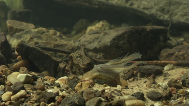 a freshwater mussel exposes its fish-like mantle on a stony riverbed. - ムール貝点の映像素材/bロール