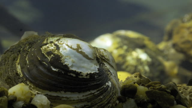a freshwater mussel moves along a stony riverbed. - freshwater stock videos & royalty-free footage