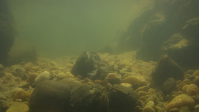a freshwater mussel pulses its fish-like mantle as a lure. - acqua dolce video stock e b–roll