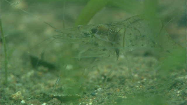 freshwater prawn (palaemon paucidens)  / diving shooting  /  lake toya / hokkaido - prawn animal stock videos and b-roll footage