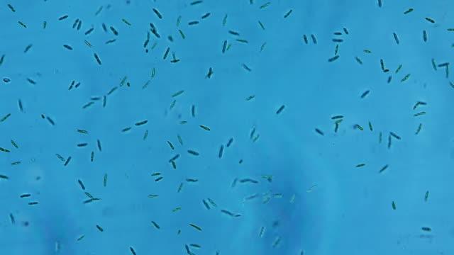freshwater protist - animale microscopico video stock e b–roll