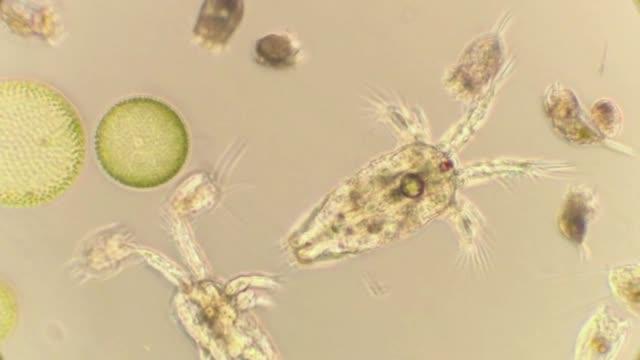 freshwaterplankton with copepods and rotifers - プランクトン点の映像素材/bロール