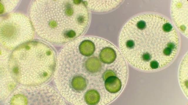 freshwaterplankton with volvox colonys - volvox video stock e b–roll