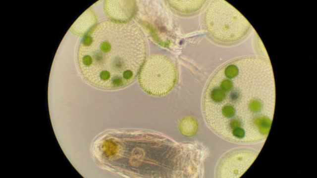 freshwaterplankton with volvox colonys, waterflea and rotifer - volvox video stock e b–roll