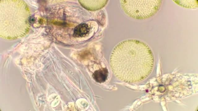 freshwaterplankton with volvox colonys, waterflea and rotifers - volvox video stock e b–roll