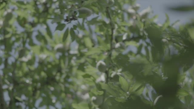 fresno farming - almond stock videos & royalty-free footage
