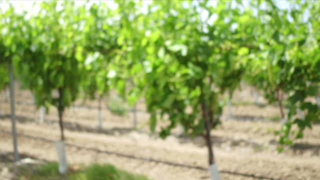 fresno farming - grape leaf stock videos and b-roll footage
