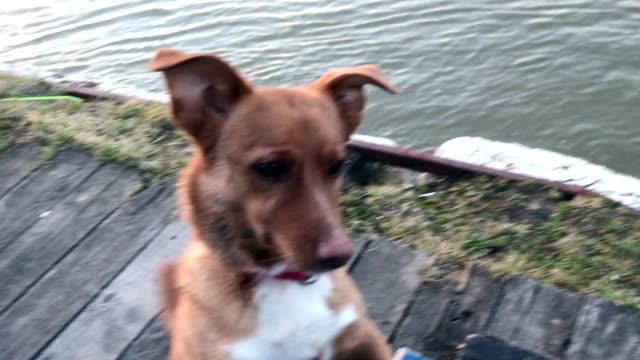 vänlig hund spelar. - serbien bildbanksvideor och videomaterial från bakom kulisserna
