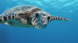 A friendly Hawksbill turtle swims along side a scuba diver and turns its head to face the diver