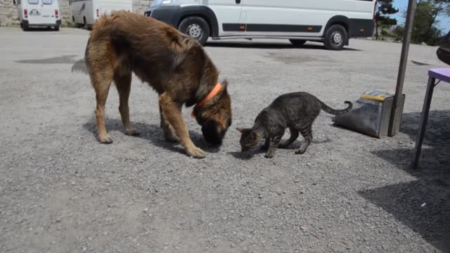 Friendship of a dog named ''Fiko'' and of a cat named'Tomi' animals amazing those who seeing them at the streets of Sinop province on May 27 2017