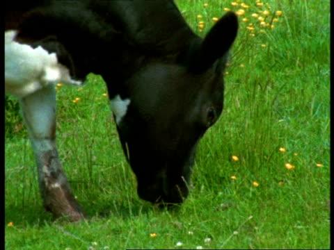 CU Friesian Cow grazing, England
