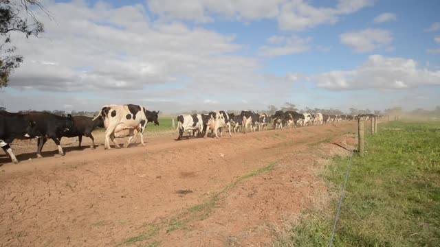vídeos de stock e filmes b-roll de friesian cows are herded towards the dairy for the evening milking session at pearson farm north of moama operations on a dairy farm in australia on... - gado holstein friesian