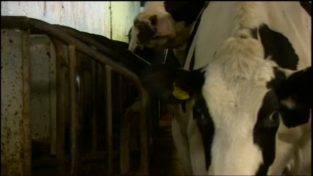 friesian dairy cows walking out of shed after being milked - milk cow stock videos & royalty-free footage