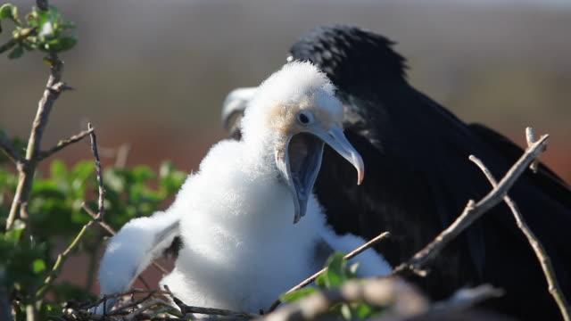 Frigate Bird Chick