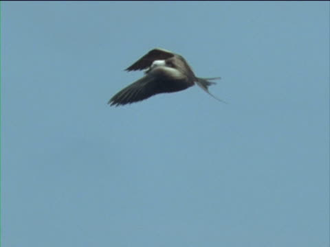 Frigate bird snatches galapagos storm petrel from another frigate bird which then drops it, storm petrel tries to fly off but is grabbed by another frigate bird.