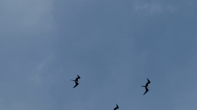 Frigate Birds Soaring in the Sky, Cancun, Mexico
