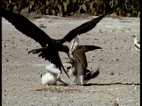 Frigate birds steal fish form the mouth of a blue footed booby, piracy