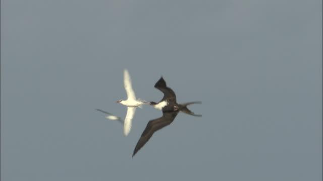Frigatebird (Fregata minor) attacks red tailed tropicbird (Phaethon rubricauda), Hawaii