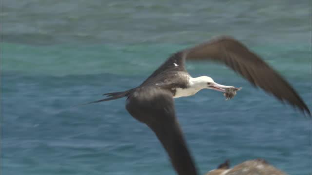 Frigatebird (Fregata minor) eats sooty tern (Sterna fuscata) chick, Hawaii