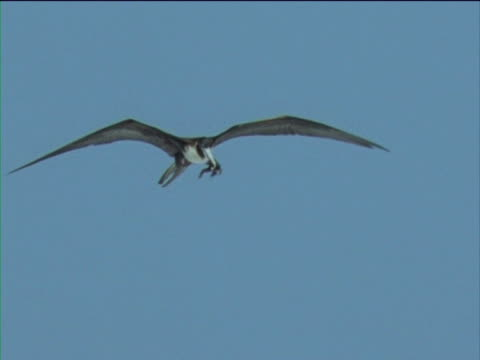 A frigatebird feeds on a Storm petrel.