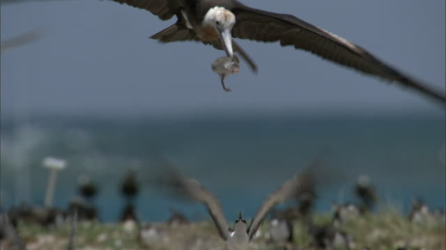 stockvideo's en b-roll-footage met frigatebird (fregata minor) grabs sooty tern (sterna fuscata) chick, hawaii - vogelzwerm