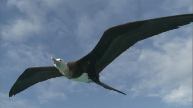 Frigatebird (Fregata minor) soars on wind, Hawaii