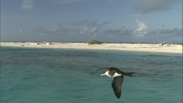 Frigatebird (Fregata minor) soars over sea, Hawaii