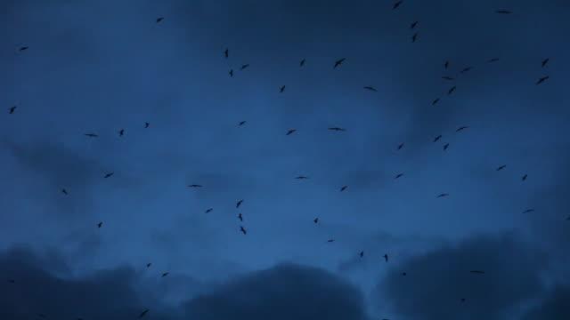 vídeos de stock, filmes e b-roll de frigatebirds flying in the dark, moonlit sky with dark clouds, wide - evil