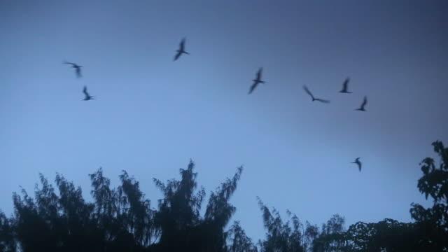 vídeos y material grabado en eventos de stock de frigatebirds flying over eery treetops at night - mosca insecto