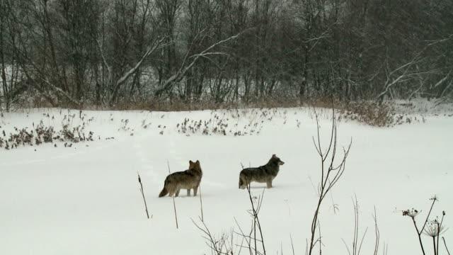 Fa paura dei lupi