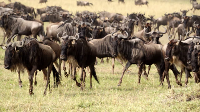 frightened and terrified wildebeest antelopes running at great migration - migrazione animale video stock e b–roll