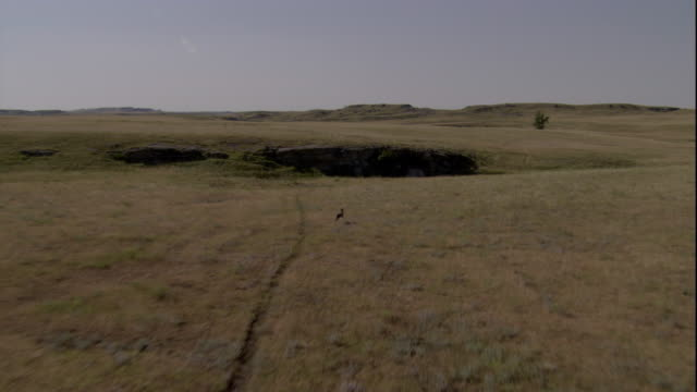 a frightened coyote runs through the grasslands of badlands national park. available in hd. - badlands national park video stock e b–roll