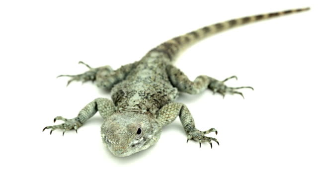 vídeos de stock e filmes b-roll de medo lagarto no chão retrocessos - olhar de lado