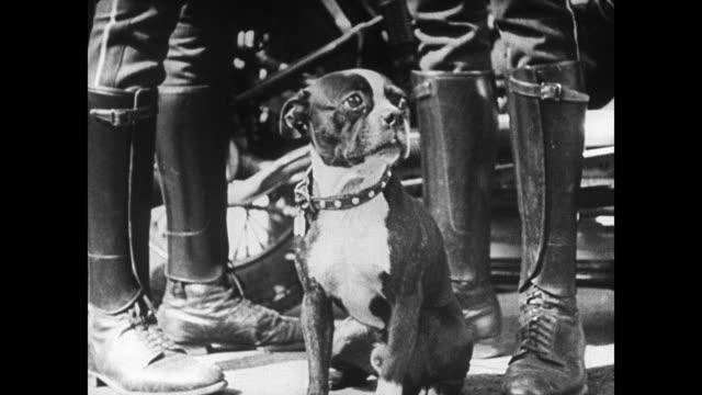 vídeos de stock e filmes b-roll de frightened shaking boston bulldog sitting between boots of two policemen wreckage bg - 1935
