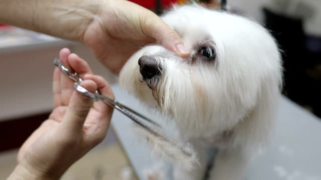 frightened  white maltese being groomed. - hairdresser stock videos & royalty-free footage