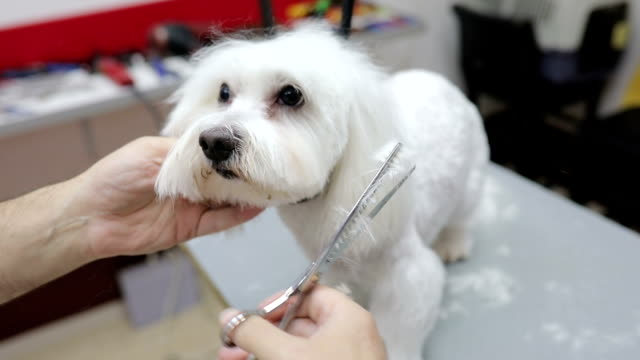 Frightened  white maltese being groomed.