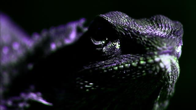 a frilled lizard blinks his eyes. - animal eye stock videos & royalty-free footage