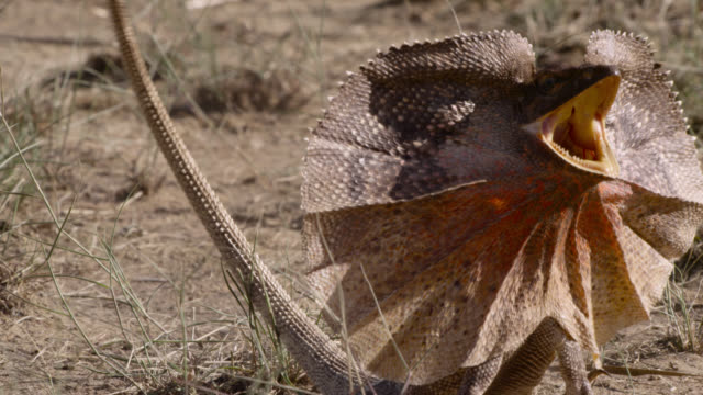 frilled lizard in threat display, australia. - reptile stock videos & royalty-free footage