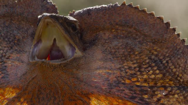 vídeos de stock, filmes e b-roll de frilled lizard in threat display, australia. - reptile