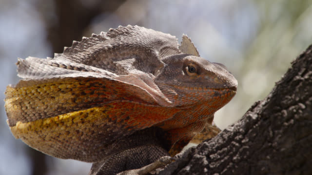 frilled lizard in tree, australia. - animal eye stock videos & royalty-free footage