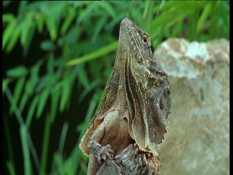 frilled lizard looking upwards then raises frill around head, australia. - erezione video stock e b–roll