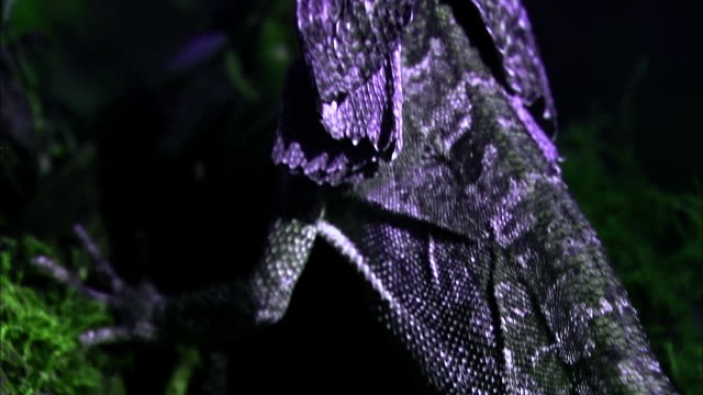 a frilled lizard perches on the side of a tree. - camouflage stock videos & royalty-free footage