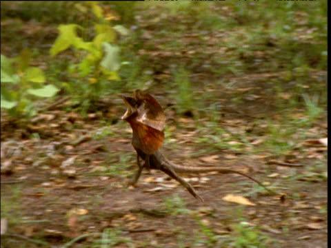 Frilled lizard sprints on hind legs through bush, Howard Springs, Northern Territory, Australia