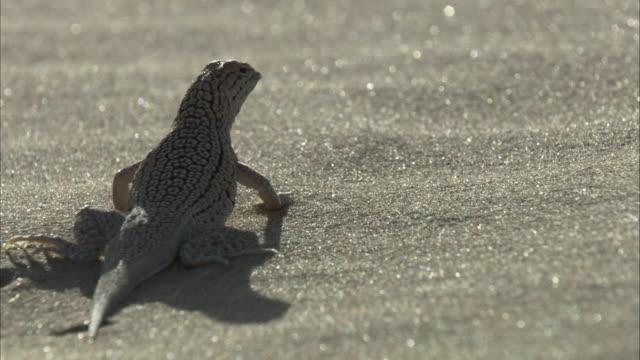 Fringe toed lizard in sand