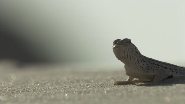 fringe toed lizard moves - lizard stock videos and b-roll footage