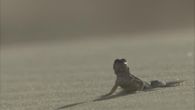 Fringe toed Lizard
