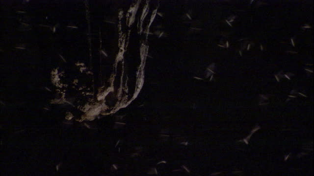 Fringe-lipped bats flit through Deer Cave in Borneo. Available in HD.