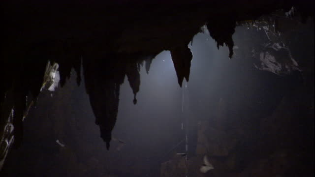 Fringe-lipped bats fly around stalactites in Deer Cave, Borneo. Available in HD.