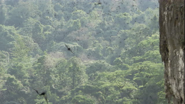 fringe-lipped bats fly from borneo's deer cave toward the forest. available in hd. - サラワク州点の映像素材/bロール